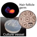 Hair follicle germ